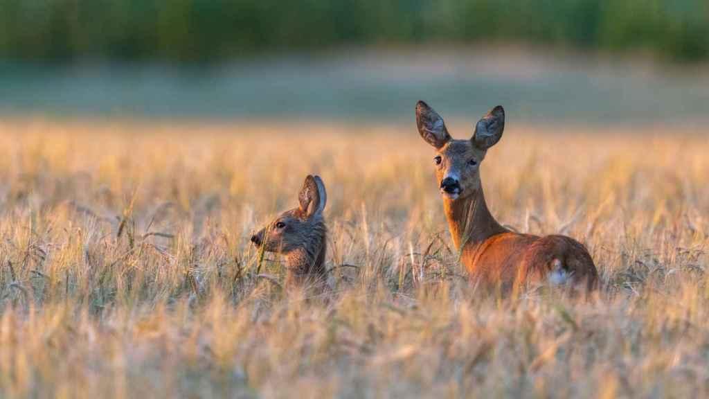 Una imagen de archivo de dos ciervos.