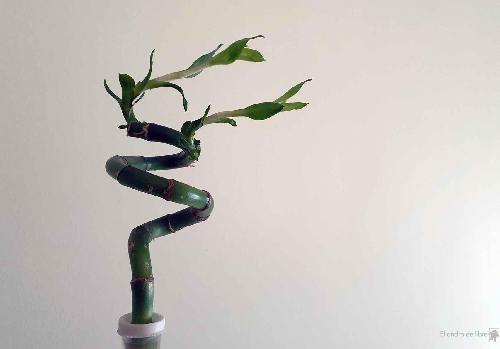 Planta de bambú, regalo parte de Honor