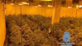 Intervienen 48 kg de cogollos de marihuana y 514 plantas de cannabis en Benalmádena
