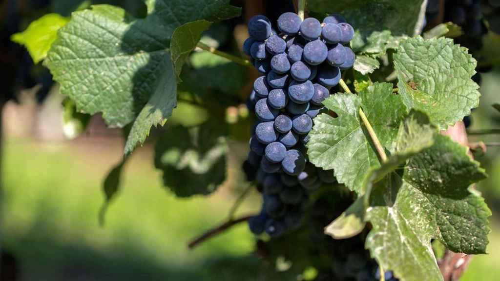 La tinta del país o tempranillo es la uva reina de Arlanza.