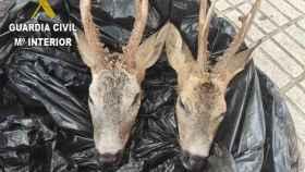 Las dos cabezas de corzo encontradas en un coche por la Guardia Civil de Guadalajara