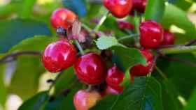 cherries-3438599_1920