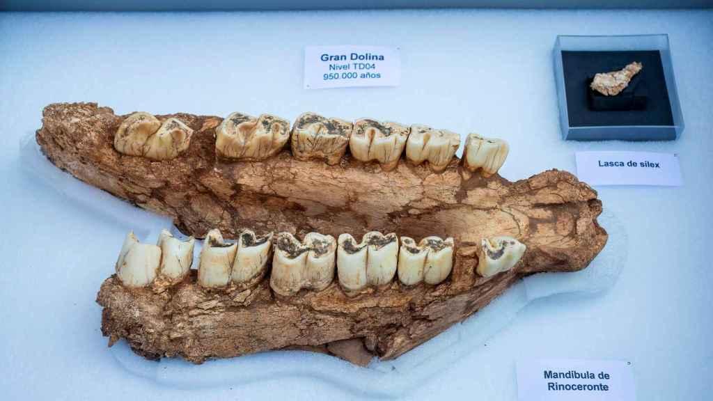 La mandíbula de rinoceronte hallada en Atapuerca.
