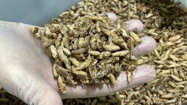 Insectos en criadero