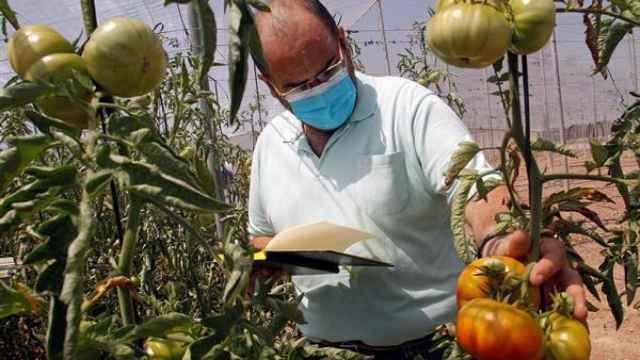 Santiago García Martínez, investigador del Centro de Investigación e Innovación Agroalimentaria y Agroambiental de la UMH, inspecciona varias matas de tomateras.