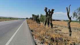 Así han quedado los olmos en la carretera del Salobral, en Albacete