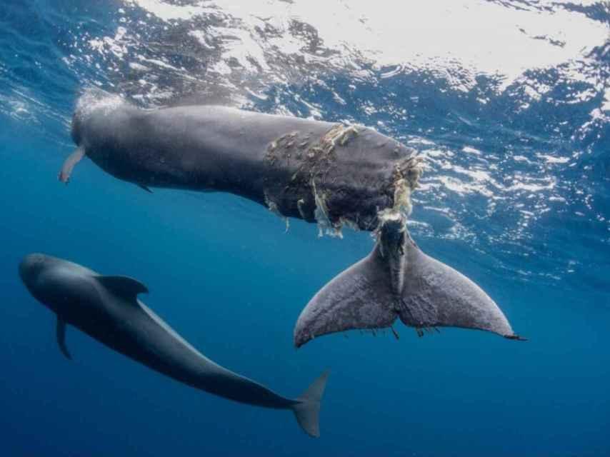 Imagen de Hope, la ballena herida por un barco en aguas tinerfeñas.