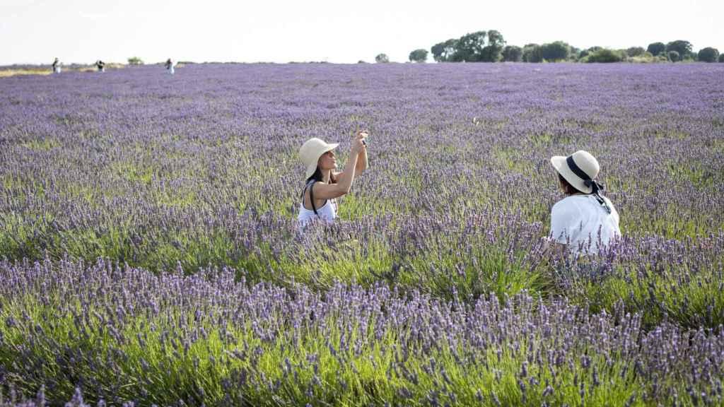 Miles de turistas se fotografían cada día en los vastos campos de lavanda de La Alcarria.
