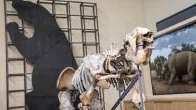 El megaterio encontrado en Argentina en el s. XVIII es una de las joyas de este museo.