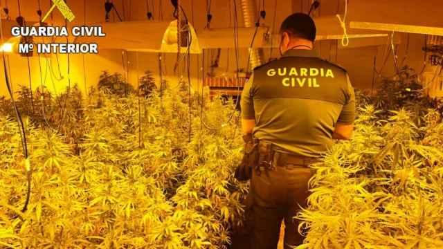 Plantación de marihuana en San Martín de Pusa (Toledo)