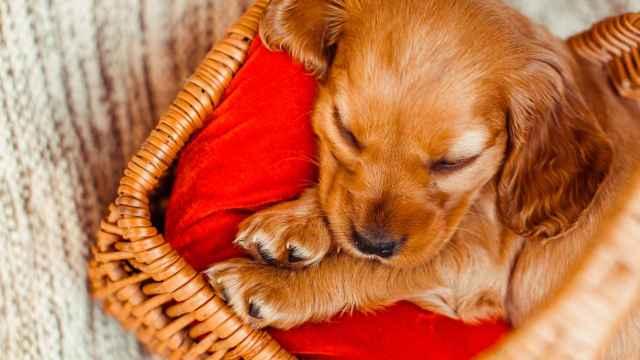 Cómo limpiar la cama del perro