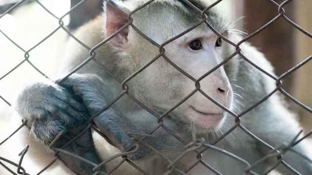 Un macaco como los usados para la experimentación biomédica.