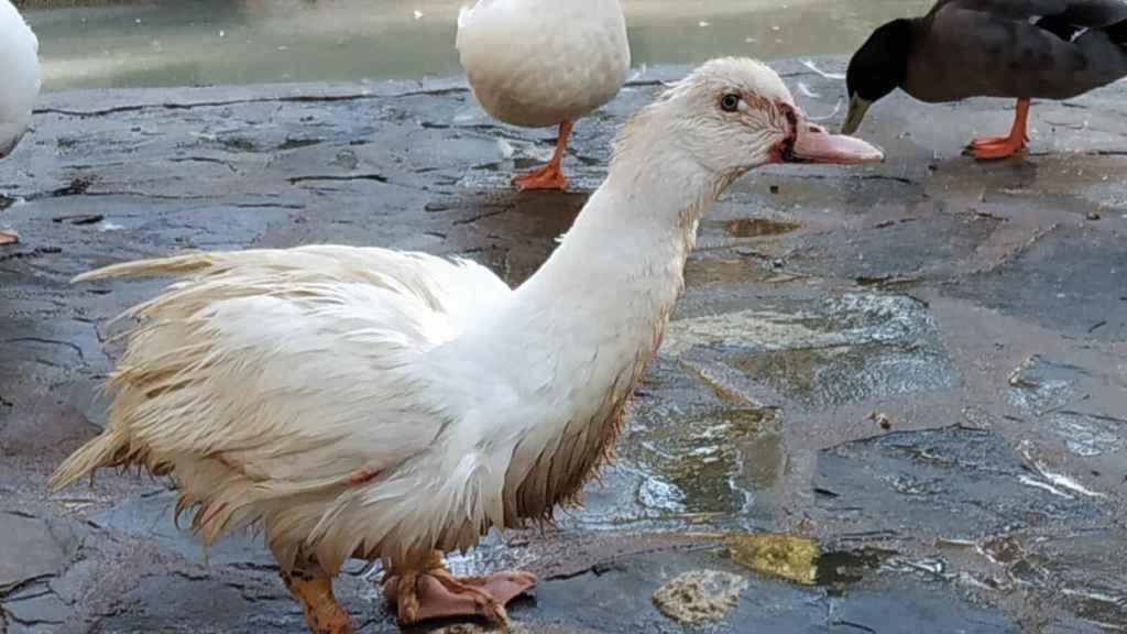 Recogen 15.000 firmas y lanzan un SOS por el estado de decenas de patos en Albacete