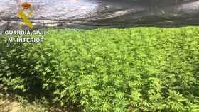 Encuentran más de 500 plantas de marihuana en una finca cerca de Talavera.