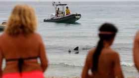 Aparece muerto en El Campello el tiburón de dos metros que sorprendió a los bañistas de Benidorm.
