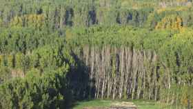 Bosque de chopos en el bierzo