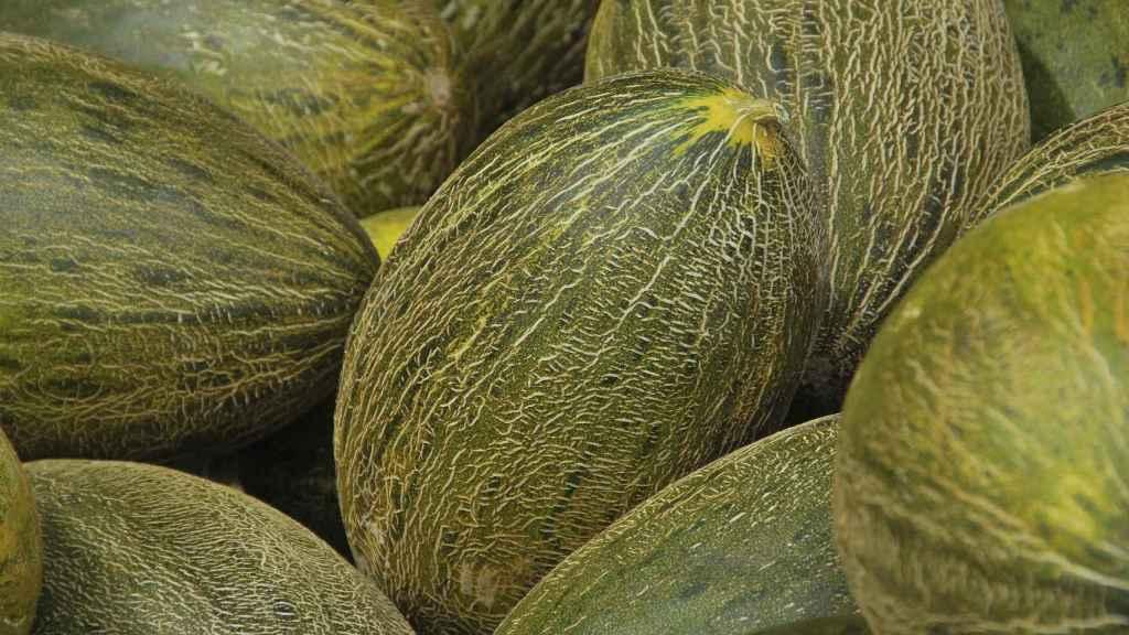 Melones 'piel de sapo' con sus características estrías.
