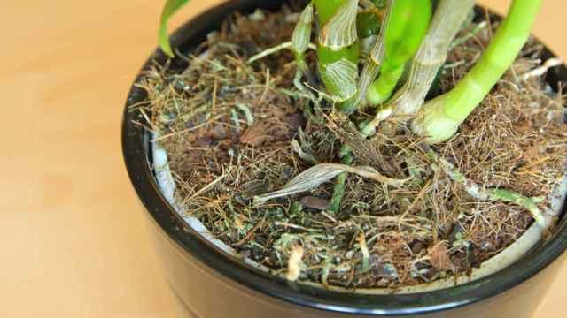 Estos son los trucos para revivir una orquídea marchita