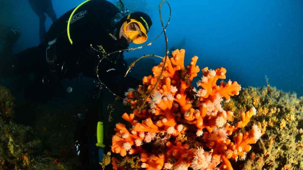 Los buzos de SOS Corales van actuando por fases y bajo la dirección de la bióloga Marina Palacios.