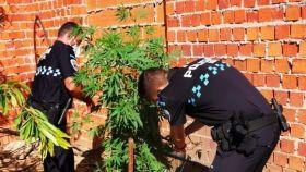 Dos agentes junto a una de las plantas de marihuana incautadas.