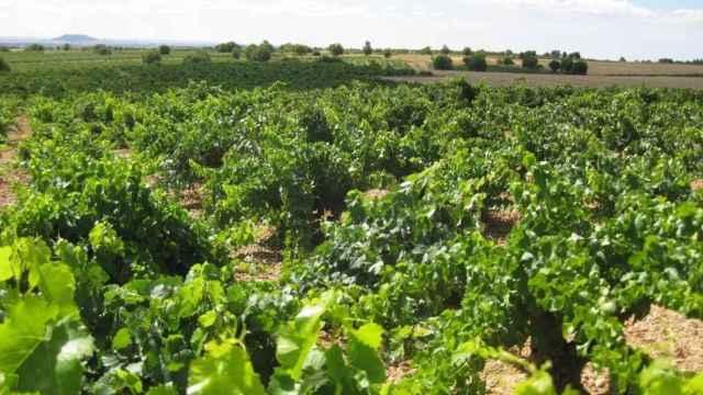 C-LM resuelve ayudas por casi 31 millones de euros para que viticultores puedan mejorar la competitividad de sus viñedos
