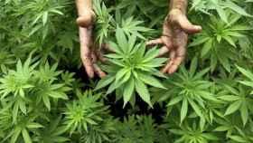 Una planta de marihuana o 'maría'.
