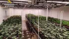 Encuentran en Cuenca una nave con 1.400 plantas de marihuana