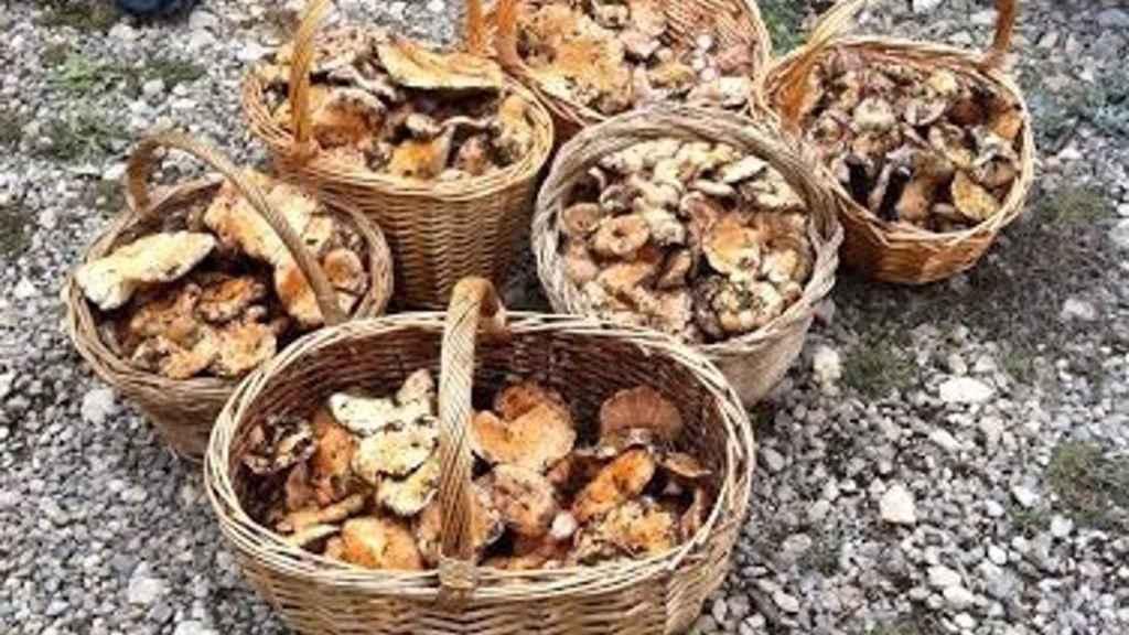 Un pueblo de Cuenca limita la recolección de setas: 5 euros al día si no ese de allí