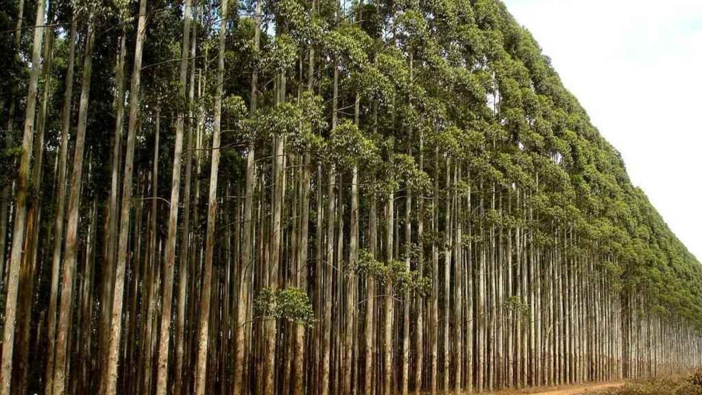 Bosque de eucaliptos en Galicia.