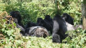 Un grupo de gorilas observa el cadáver de un espalda plateada.