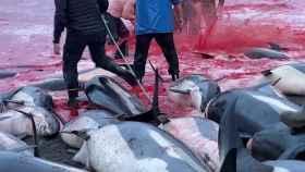 La caza en masa de delfines en las Islas Faroe.