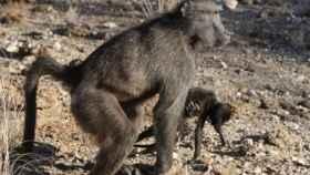 Hembra de primate acarrea un bebé muerto.