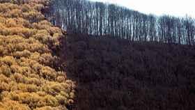 Pinos quemados en la zona del Puerto de Las Peñas Blancas (Jubrique)