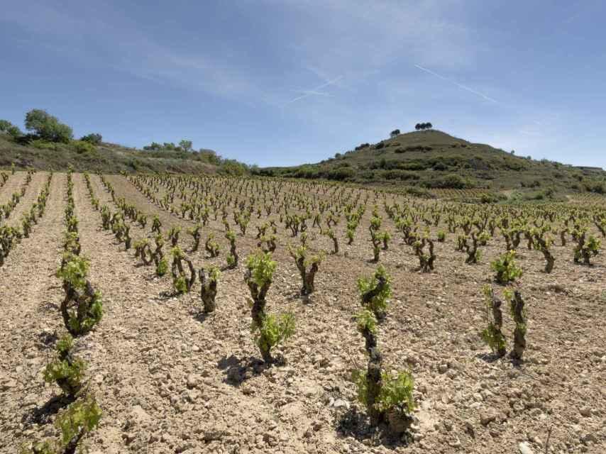 Viñedo Singular de Duermealmas, en Rioja Alta.