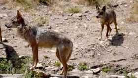 Dos ejemplares en el Centro del Lobo Ibérico de Castilla y León en Robledo (Zamora)