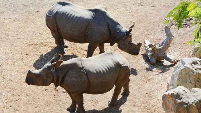 Terra Natura Benidorm advierte de que tan solo quedan 3.500 ejemplares de rinoceronte indio