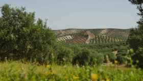 Los beneficios del olivar más allá del aceite: es fuente de energía barata y fija población