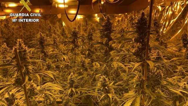 Plantación de marihuana. EP