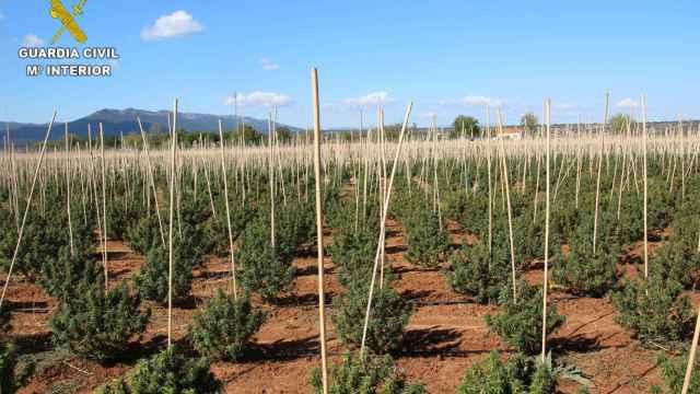 12.000 plantas de marihuana en una finca de Sonseca (Toledo)