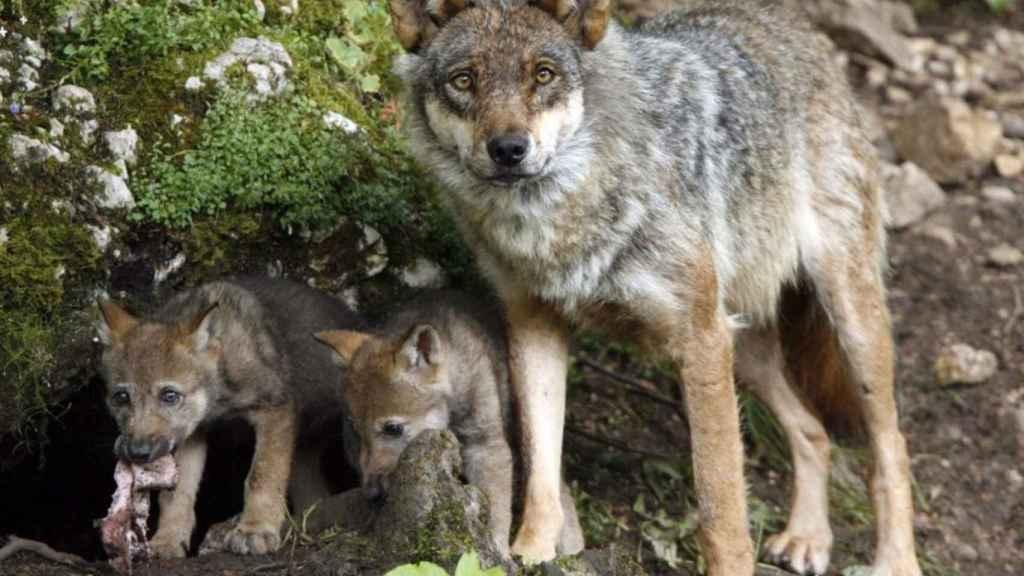 Lobos. Imagen de archivo de Europa Press