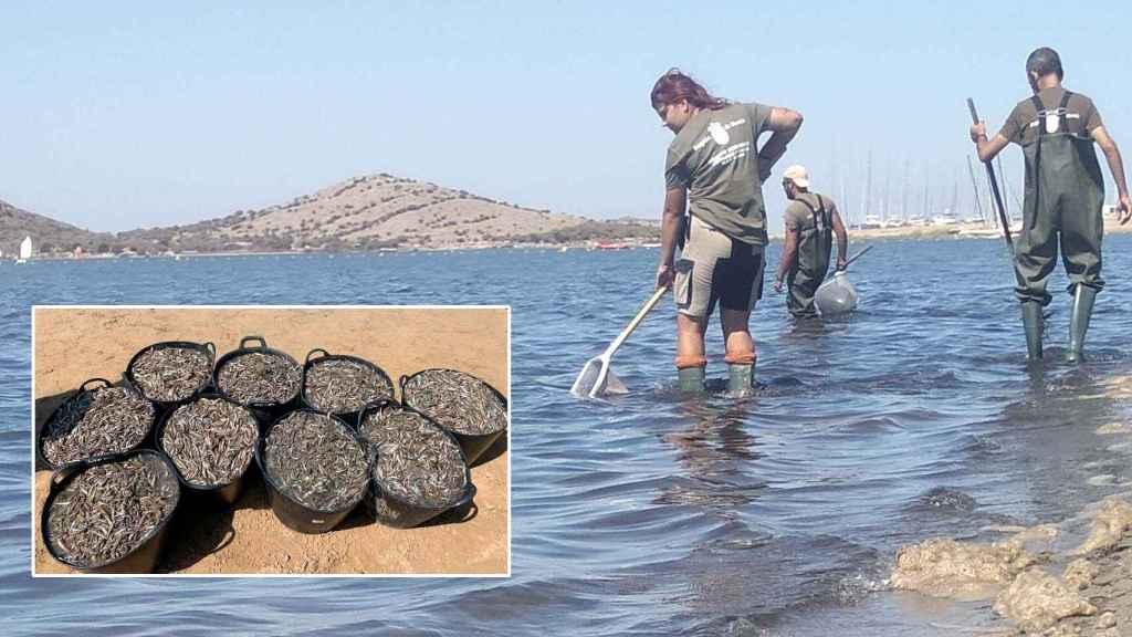 Personal de medio ambiente retirando peces muertos del Mar Menor en agosto.