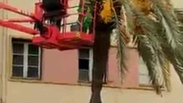 Polémica poda con motosierra de palmeras en Elche