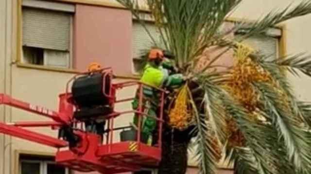 Chapuza en el mayor palmeral de Europa: Denuncian la peligrosa poda con motosierra en Elche
