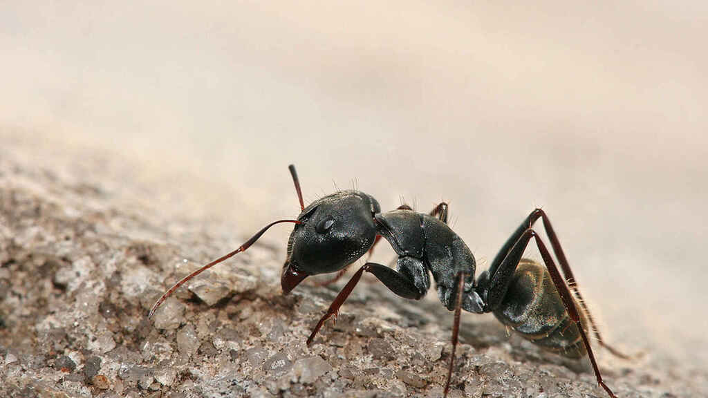 hormiga-wikipedia
