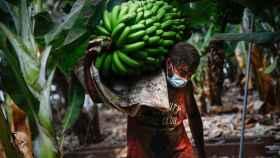 Cultivadores de plátanos recogiendo sus cosechas antes de que la lava arrase las plantaciones.