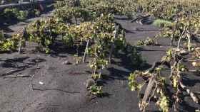Enólogo a ratos, los vinos de La Palma y de Canarias