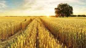 Campo de cereales. Imagen de archivo