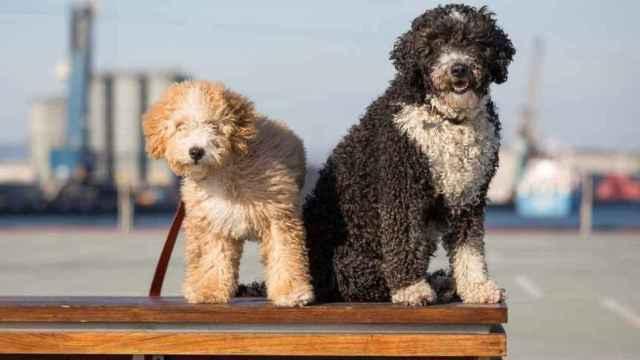 Una pareja de perros de agua.