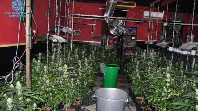 Uno de los cultivos de marihuana desmantelados en Puertollano.
