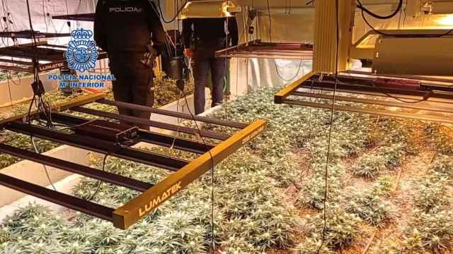 Cazado en Valladolid con 500 plantas de marihuana Skunk